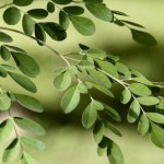 foodonia | moringa-tree